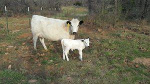 British White cow-calf pair